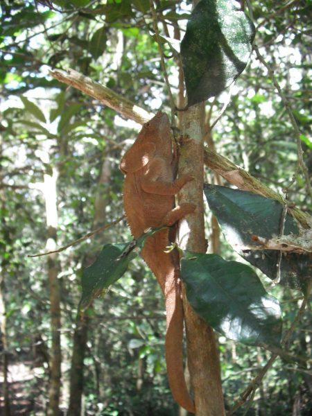 CHAMELEON-ON-TREE-MADAGASCAR