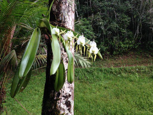 madagascar-orchids