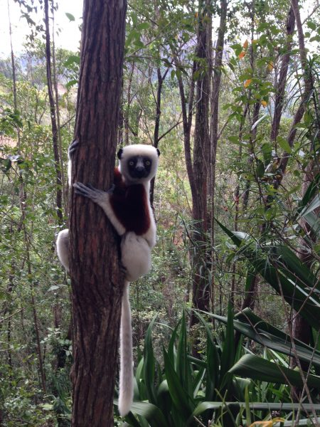 LEMUR-ON-TREE