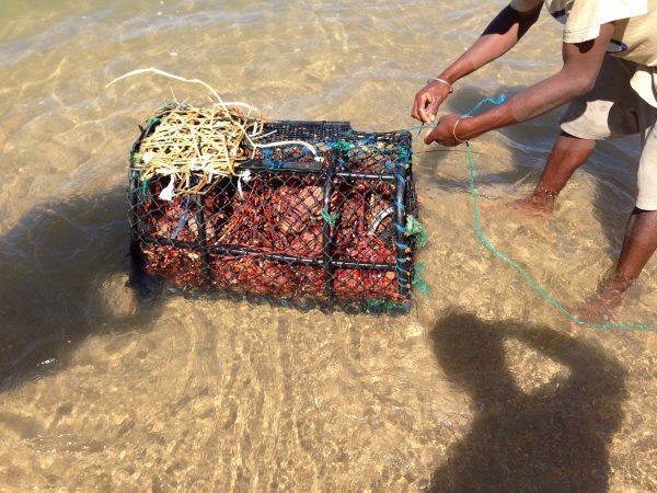 madagascar-lobsters