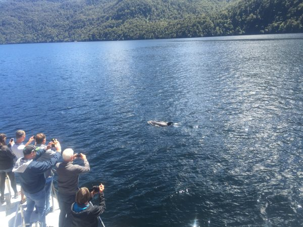 Doubtful_Sound_dolphins