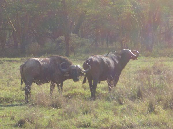 water_buffalos_Kenya