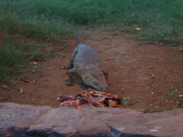 Crocodile_Kenya