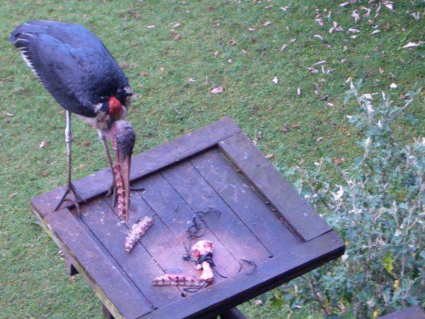 ugly_bird_Kenya