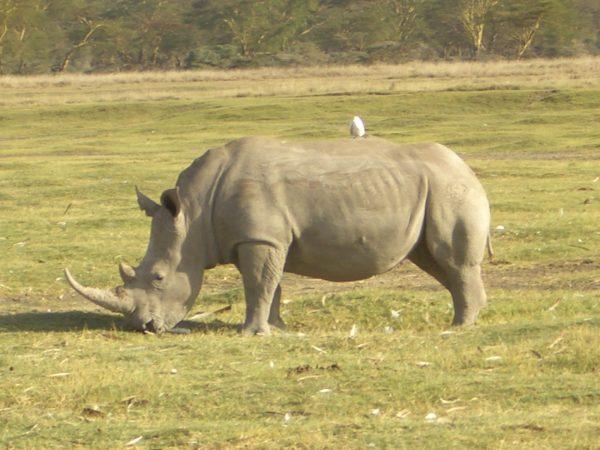 White_rhino_Kenya