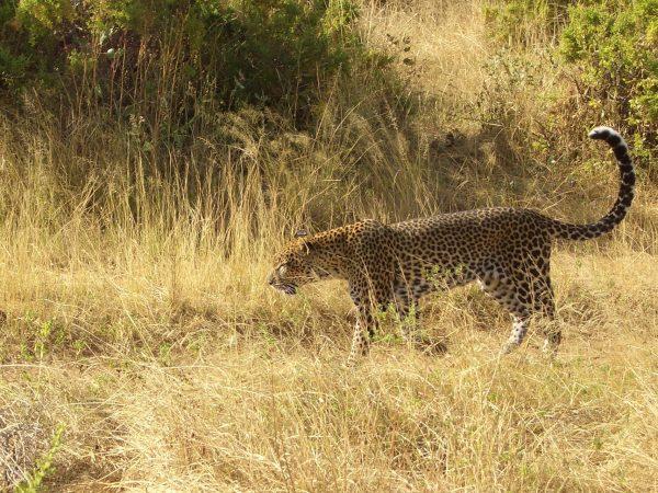 Leopard_Kenya