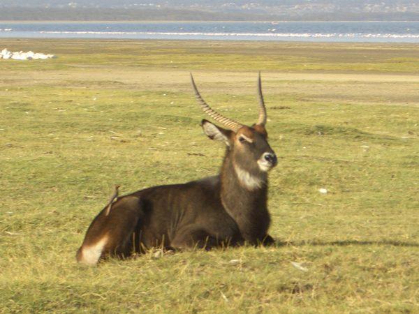Water_buck_Kenya