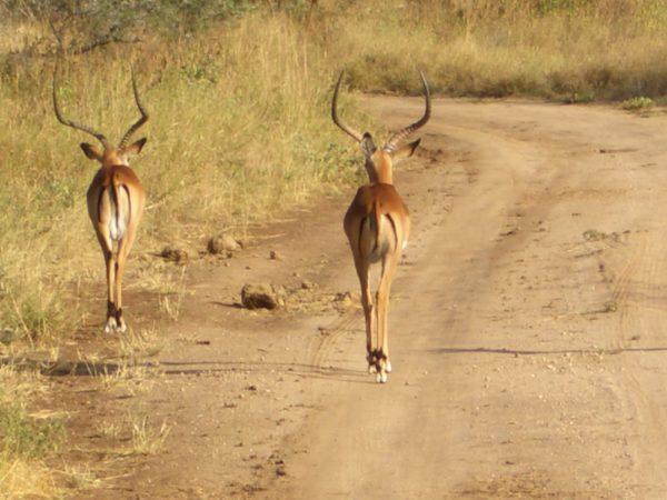Gazelles_Kenya