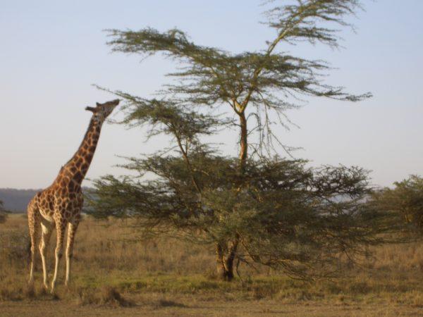 Giraffe_tree_Kenya