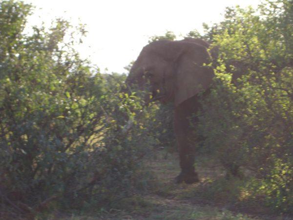 Elephant_Kenya