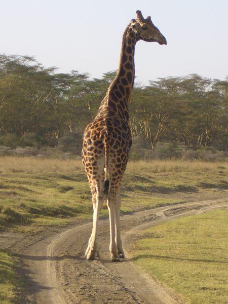 giraffe_Kenya