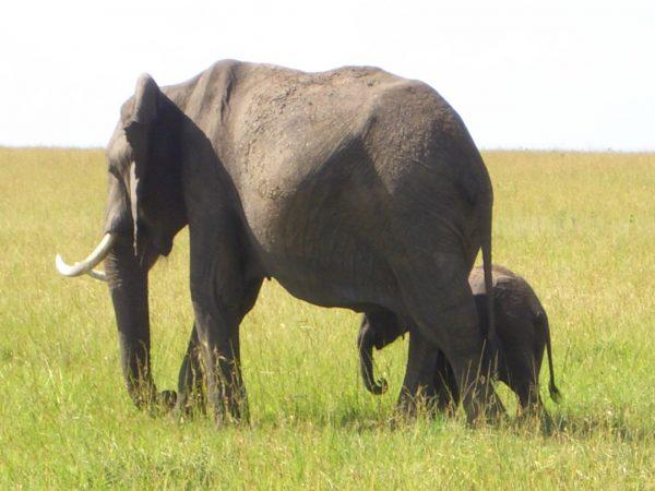 Elephants_Kenya