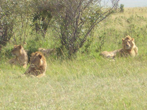 Lions_Kenya