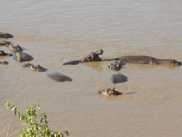 Hippos_close