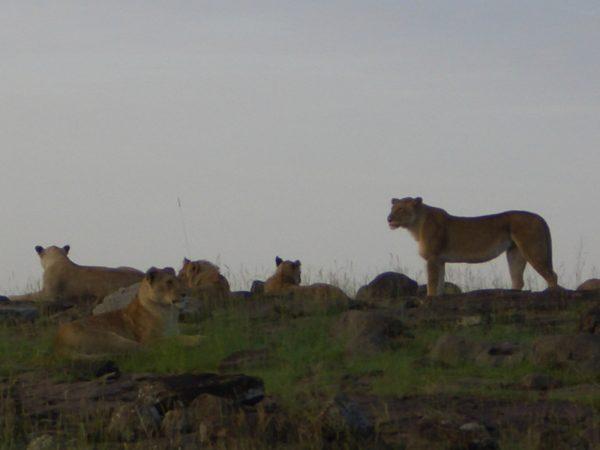 lion_herd__Kenya