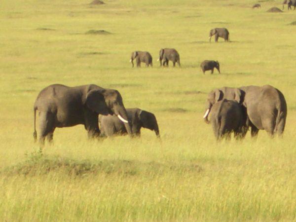 Elephants_herd