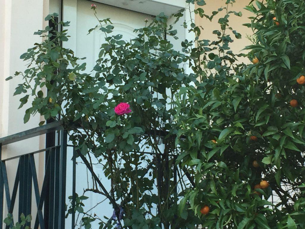 τριαντάφυλλο μόνο του