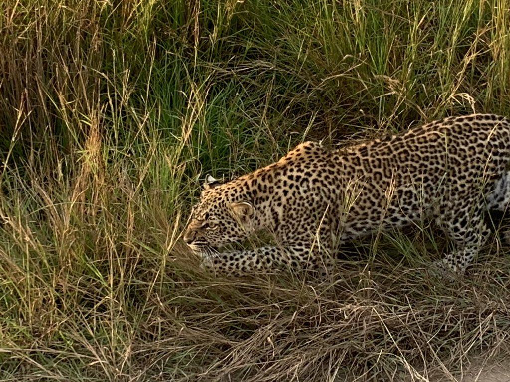 λεοπάρδαλη κυνηγάει