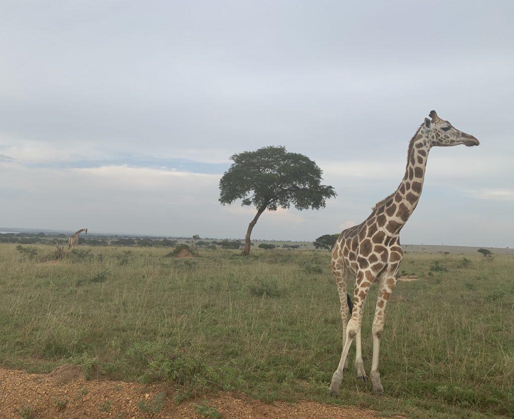 καμηλοπάρδαλη και δέντρο Ουγκάντα
