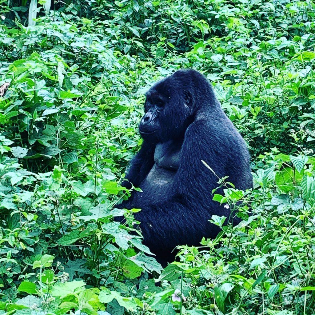ουγκάντα γορίλας τρώει γρασίδι